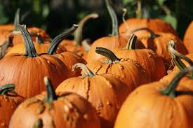 Cal Poly Pomona Annual Pumpkin Patch by Best Pumpkin Patches In Southern California Cbs Los Angeles