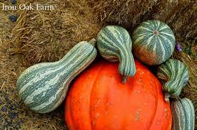 White Oak Pumpkin Patch by Iron Oak Farm Heirloom And Hybrid Pumpkins