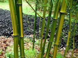 Phyllostachys aureosulcata 'Harbin'