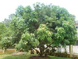 Christmas Tree Species Name by Trees Planet Mangifera Indica Mango Tree