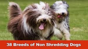 Tiny Non Shedding Dog Breeds by 38 Breeds Of Non Shredding Dogs Youtube