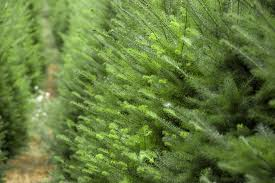 Kinds Of Christmas Trees by Your Guide To Ontario Farm Grown Christmas Trees