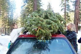 Christmas Tree Has Aphids by Uc Green Blog California Naturalist
