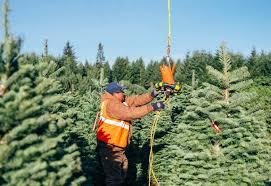 Pea Ridge Christmas Tree Farm by Where Can You Cut Down A Christmas Tree Christmas Lights Decoration