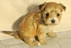 Tiny Non Shedding Dog Breeds by Shih Tzu Hybrid Dogs