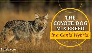 Blue Heeler Shedding In Winter by Information You Needed About The Coyote Dog Hybrid Mix Coydog