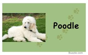 Tiny Non Shedding Dog Breeds by Guard Dogs That Don U0027t Shed How Many Do You Know