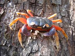 List 3 Other Names For Halloween by Gecarcinus Quadratus Wikipedia