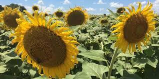 Pumpkin Patch Clanton Al by Stunning Sunflower Field A Bright Spot In Autauga