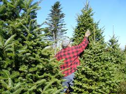Kinds Of Christmas Trees by Christmas Tree Production In Canada Wikipedia