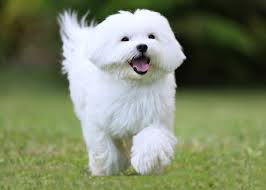 Tiny Non Shedding Dog Breeds by 5 Of The Best Small White Dog Breeds Practical Paw The Dog