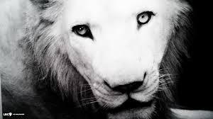 Toledo Zoo Halloween by White Lion Wallpaper 5 44 Mammals Hd Backgrounds