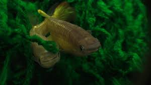 African Dwarf Frog Shedding Behavior by How To Breed The Golden Wonder Killifish And Two Simple Methods